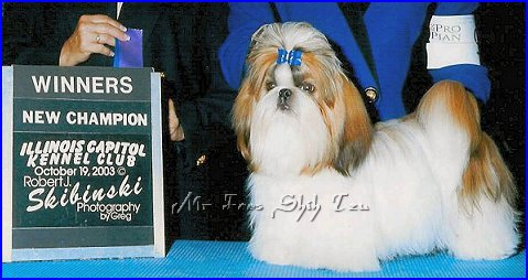 Image: Ch. Mr Foo's Reign Of Fire, Dylan is my 1st Shih tzu & my little baby boy.  He finished out of puppy class & made me very proud. Dylan is now retired but has sired many beautiful shih tzu puppies.