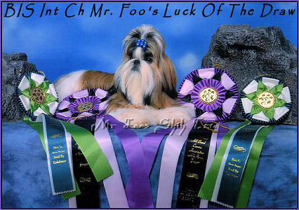 Image:Best In Show Mr Foo's Luck Of The Draw, Jack is a 3rd generation home bred shih tzu puppy. His mother & father are Autumn & Dream and grandfather is Dylan.  He is from Autumn's 1st litter of shih tzu puppies.
