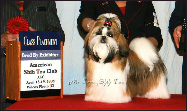 Image:Mr Foo's Soul Of Fire, LiLu is another 3rd generation home bred shih tzu puppy. His mother is Autumn & grandfather is Dylan.  She is from Autumn's 2nd litter of shih tzu puppies.