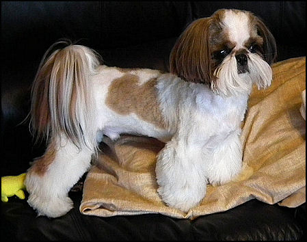 Mr Foos Shih Tzu Of Indiana Kentucky Missouri Illinios Ohio
