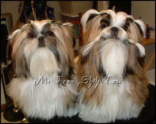 3rd generation home bred shih tzu puppy from Dream & Autumn's 1st litter.